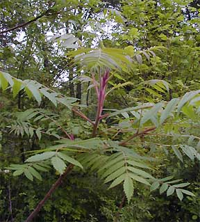 Staghorn Sumac (Rhus typhina) - Flowering Trees, Bushes and Shrubs ...