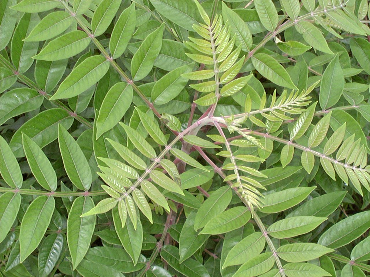poison sumac images