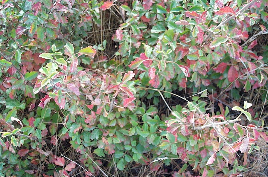 poison oak pictures. of poison oak in the fall.