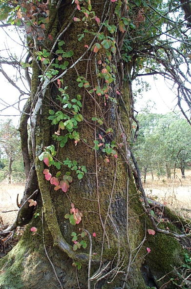 Poison Oak Vine