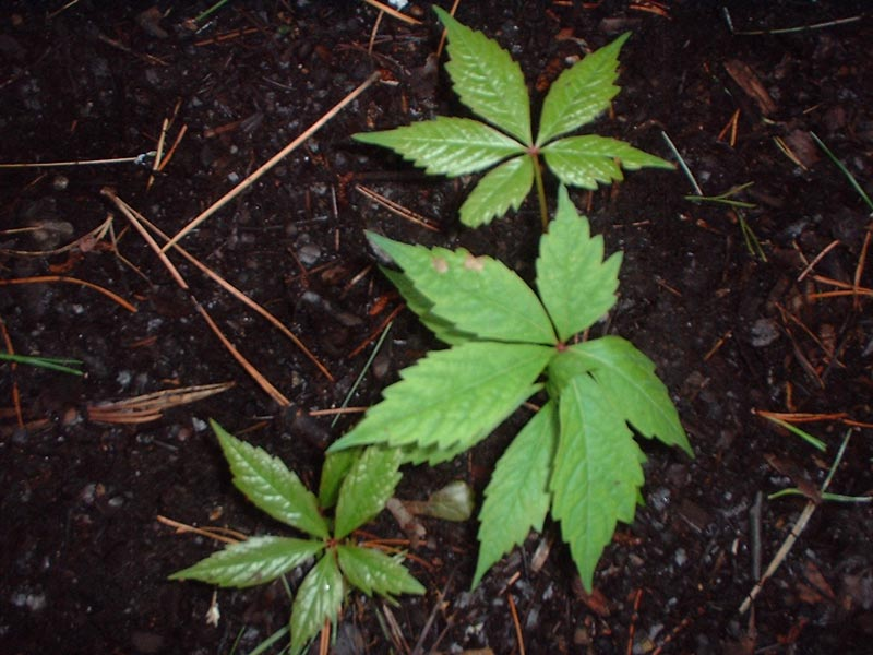 poison ivy plant images. That plant not poison ivy but